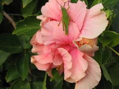 Heinäsirkka kukassa