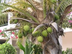Kookospalmun raa'at pähkinät