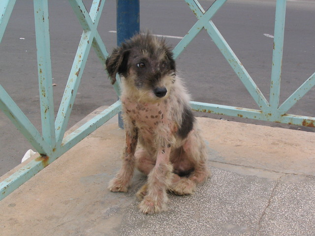 Kapinen koira Mindelon keskustassa