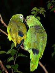 Ara-papukaijat sademetsän majatalon edessä