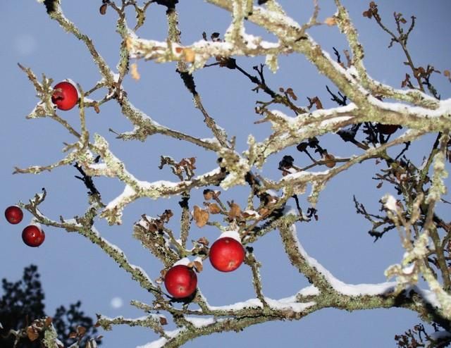 Omenapuu Kylä-Klemelän taidetalolla