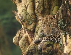 leopardin lepohetki