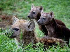 hyeenan pennut