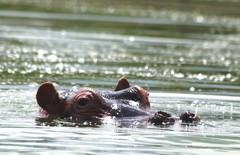 _p2287053 hippo