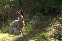 Toukokuinen rusakko takapihalla