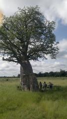 Baobab tree eli apinanleipäpuu