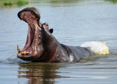 Hippopotamus eli virtahepo