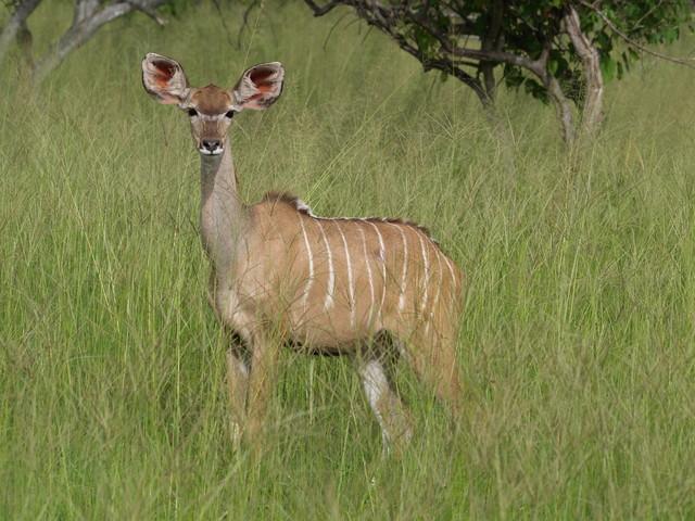 Kudu -antiooppi