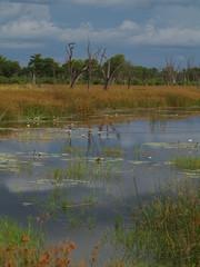 Okawangon suistoa