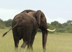Elefantti lähellä Moremin telttaleiriämme