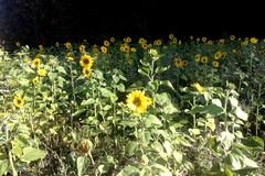 B87 Auringonkukkia