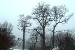 A78 Lehdettömät puut