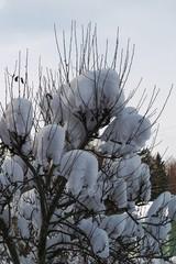 A50 Omenapuu lumen alla