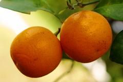 A15 Kaksi mandariinia