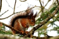 A8 Orava puussa