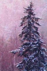 B52 Kuusi talvella