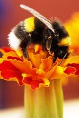 A79 Mehiläinen kukassa