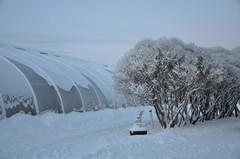 Huuruiset terijoensalavat kasvihuoneen kupeessa