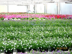 isolobelian ja amppelipetunian taimet