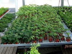 tomaattien taimet