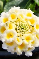 kaunis_valkoinen_tulikruunu