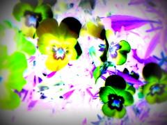Orvokkeja/Violets