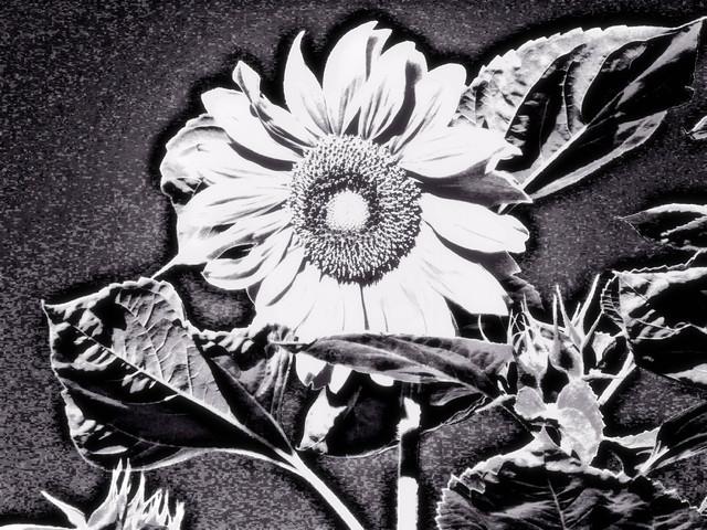 Auringonkukka yöllä/Sunflower at night