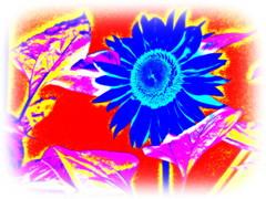 Sininen auringonkukka/Blue sunflower