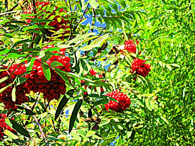 Pihlajanmarjoja/Rowan berries