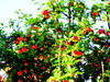 Omenapuu/Apple tree