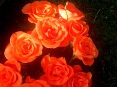 Ruusuja/Roses