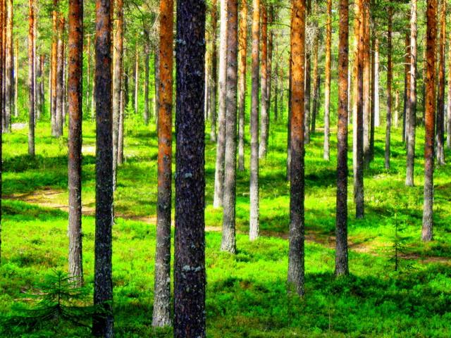 Mäntymetsä/Pine forest
