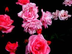 Ruusutähdistö/Roseconstellation