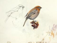 Taviokuurna - Pine Grosbeak