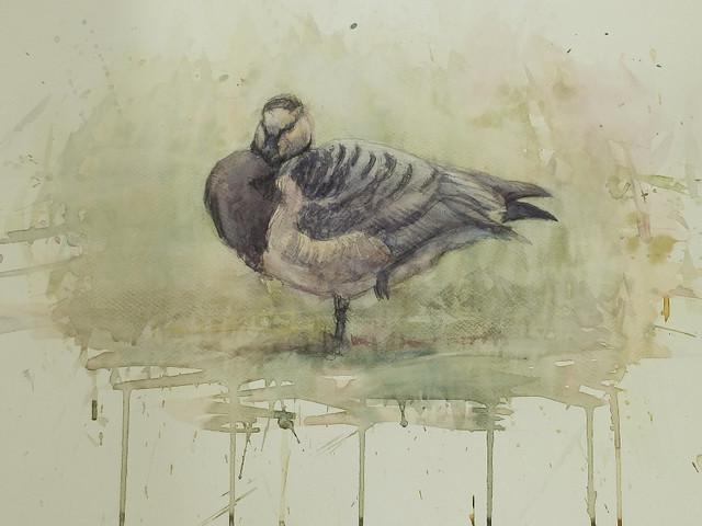 Valkoposkihanhi - Barnacle Goose