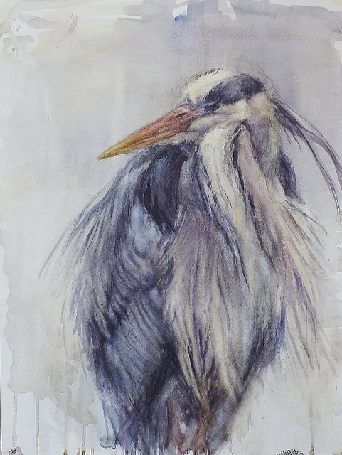 Harmaahaikara - Grey Heron