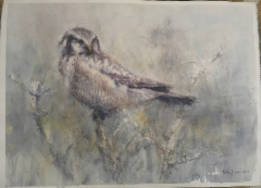 Hiiripöllö - Hawk Owl