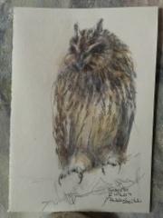 Suopöllö - Short-eared Owl