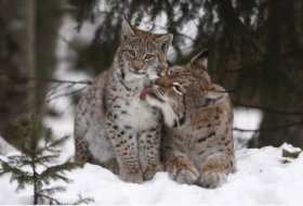 lynxes.png&width=280&height=500