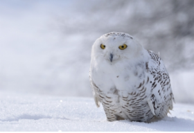 snow_owl.png&width=280&height=500