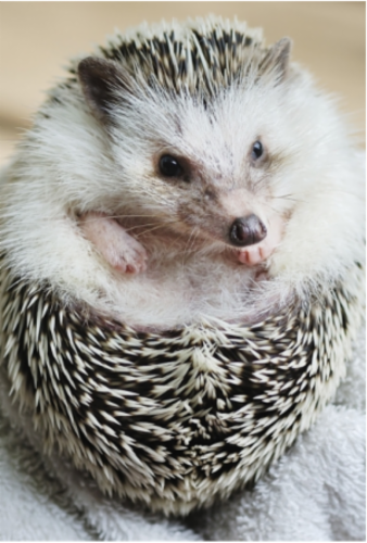 An_African_Pygmy_Hedgehog.png&width=280&height=500