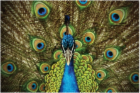 peacock.png&width=140&height=250