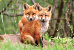 foxes.png&width=280&height=500