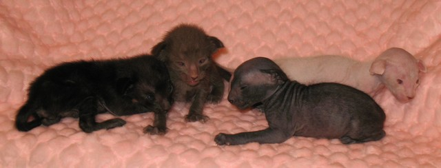 peterbald kittens 12.4.09 114