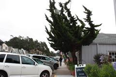 california, gambria, erikoinen puu