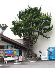 california, gambria, erikoinen puu2