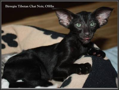 birregin_tibetan_chat_noir_oshn_9_weeks.jpg