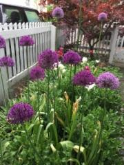 Allium ja Japaninvaahtera