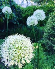 Valkoinen Allium