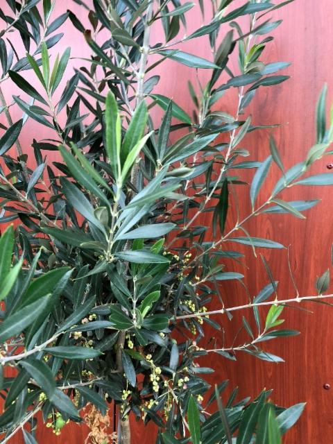 Oliivi